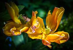 Faded beauties (judy dean) Tags: orange garden petals tulips falling faded 2016 naturethroughthelens judydean sonya6000