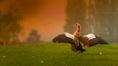 ouette d'Egypte (Yasmine Hens) Tags: bird europa flickr belgium ngc oiseau namur hens yasmine oie wallonie ouette iamflickr flickrunitedaward hensyasmine