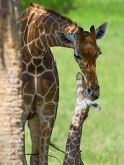 2016-06-22 P8900919 A special bond (Tara Tanaka Digiscoped Photography) Tags: giraffe calf gh4 nikon300mm28 manualfocus jacksonvilezoo animal adorable sweet precious tender
