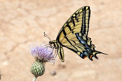 Two-tailed swallowtail Papilio multicaudata (Jeff Mitton) Tags: insect thistle rattlesnakecanyon wondersofnature twotailedswallowtail earthnaturelife mcinniscanyonsnationalrecreationarea