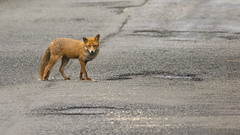Red Fox (Margaret S.S) Tags: red fox