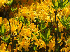 Mass of yellow (mark.griffin52) Tags: england flower yellow garden buckinghamshire azalea cheddington olympusem5
