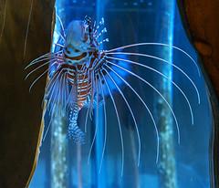 The Lion Fish (ORIONSM) Tags: aquarium underwater sony torquay lionfish rx100mk3