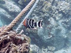 Koh Tao (Scuba Diving), Thailand (Jan-2016) 14-085 (MistyTree Adventures) Tags: ocean sea fish water thailand twins marine asia seasia underwater outdoor diving scubadiving kohtao gulfofthailand panasoniclumix