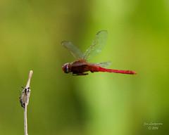 Dragonflies -2 (jimlustgarten) Tags: dragonflies lustgarten