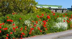 Poppies on the roadside (annadg) Tags: flower poppy floraandfauna otherkeywords