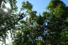 Todd (dltree76) Tags: tree climber treeclimbing arborist treeremoval treeclimber