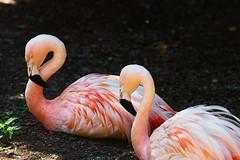 Flamingos (Vincent1825) Tags: pentax louisvillezoo 200mm