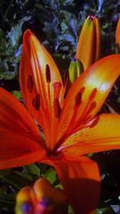106 (jurinkof) Tags: fleurs blüten 花卉 цветы kvety květy