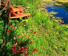 Summertime and the living is easy! (peggyhr) Tags: canada alberta poppies slough peggyhr heartawards bluebirdestates happybenchmonday redlevelno1