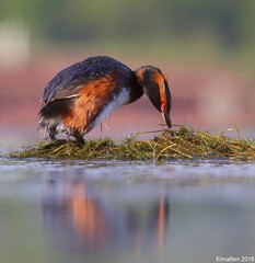 Flrgoi (Podiceps auritus) - Horned Grebe (Elma_Ben) Tags: reflection bird colors beautiful iceland beautifulbird hornedgrebe podicepsauritus flrgoi canoneos7dmarkii sigma150600mm elmaben