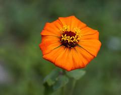 A zinnia with 2 extra petals for you! (ltimothy on/off) Tags: orange costarica zinnia naranja matrimonio 13petals sonya6000 supertakumarlensf1450mm 13petalos