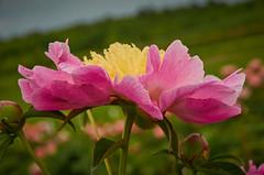 Peony [Explored] (AZSunsets) Tags: pink macro nature yellow nikon dof blossom bokeh peony explore bloom nikkor explored swensongardens