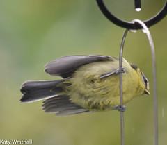 Eeeeeep (Katy Wrathall) Tags: 2016 bluetit eastriding eastyorkshire england june summer baby birds feeders garden 30dayswild