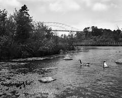 Geese & Bridge (Brian Tremblay, photographer) Tags: blackandwhite ontario canada art landscape ilford largeformat saultstemarie crowngraphic filmphotography