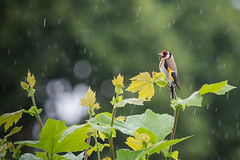 Goldfinch in the rain (Richard Holding) Tags: bird spring goldfinch printemps oiseau loiret cardueliscarduelis chardonneret