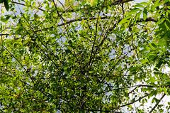 Jambhul Tree (keyaart) Tags: trees nature fruit jamun konkan jambhul