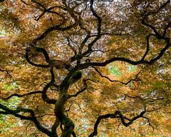 Japanese maple tree (martina.stang) Tags: pov japanesemaple