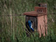 Mountain Bluebird (jacques.raymond10) Tags: blue canada bird alberta olds mountainbluebird