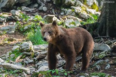 Brown bear 13 - Slovenia (Sinar84 - www.captures.ch) Tags: 2016 animal bear black blue brown brownbear cliff europa juni karst kocevska notranjska notranjskaregionalpark orange red rock slovenia slovenianbearscom summer trees white