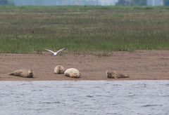 Seals - Boston Belle - Summer 2016 #3 (PontyCyclops) Tags: boston belle river cruise bird watching birdwatching tour the wash south lincs lincolnshire rspb royal society for protection of birds nature wildlife witham mudflats waders harbour seals seal basking