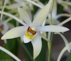 Epigeneium cymbidioides (Sylvio-Orquídeas) Tags: orquídeas orchids orchidaceae híbridos flores flowers hybrids dendrobium epigeneium cymbidioides