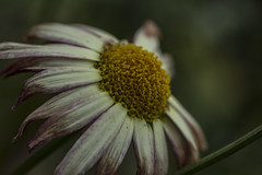 Dying Emotions - June 2016 (GOR44Photographic@Gmail.com) Tags: white flower macro yellow canon petals daisy 100mmf28 canon100mm 60d gor44
