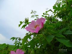 Apfel-Rose (Rosa villosa) (warata) Tags: flower fleur germany deutschland pflanze blume blte pinkflowers 2016 wildblume wildpflanze rosavillosa apfelrose