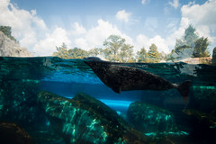 Sea Lion Swim (This_is_JEPhotography) Tags: blue trees sea sky color reflection water glass saint animals clouds swimming swim zoo louis rocks pretty sony under lion exhibit mo seal slt a77