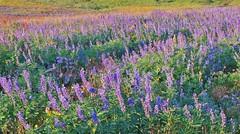 Wildflowers, Teton Crest Trail (wldrns) Tags: hiking backpacking wildflowers wyoming sunsetlake grandtetonnationalpark tetoncresttrail jedediahsmithwilderness jedediahsmithwildernessarea