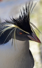 Rockhopper with Attitude (Mike_J_G) Tags: penguin rockhopper edinburghzoo
