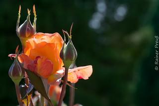 Rose auf der Blumeninsel Mainau
