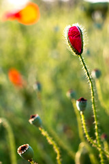 Week 25 of 2016 (PabloClavo) Tags: flowers nature bokeh poppy