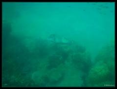 Humphead wrasse Snorkeling Pulau Besar Perhentian Islands Malaysia (Globetrotteur17) Tags: perhentian kecil besar