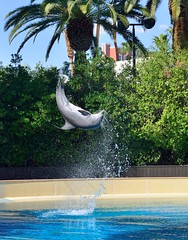 Dolphin doing a flip (kerry richardson) Tags: dolphins mirage secretgarden