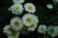 . (vieubab) Tags: bokeh couleurs calme extrieur fleurs grosplan jardin sonyflickraward luminosit lumire macro nature unlimitedphotos plante ptale saveearth sony flowerbeauty