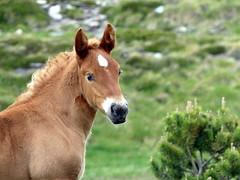 P1000249 (Franois Magne) Tags: cheval libert poulain jument blond blonde bai frange montagne etang lanoux estany de lanos lac pyrnes