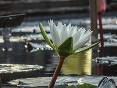 Longwood Gardens -22 (Webtraverser) Tags: gardens waterlily waterlilies longwoodgardens magichour sunsetting