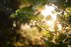 (Leela Channer) Tags: summer tree nature leaves closeup golden leaf oak glow branches backlit twigs goldenhour garrigue