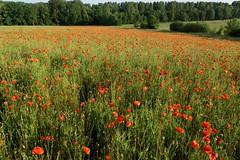 DSC02755_DxO (Yann.O) Tags: fleurs rouge coquelicots champs