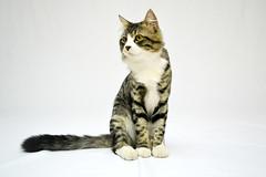 Kookie the cat (dima_abuarida) Tags: cat photo nikon experiment professional jordan backdrop shooting kedi homestudio photoshooting irbid evcilhayvan d3100 speedlight700
