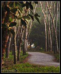 Rubber Trees - A pick into history (VERODAR) Tags: nikon rubber sarawak malaysia plantation borneo sabah rubberplantation peninsularmalaysia rubbertrees nikond5000 verodar veronicasridar