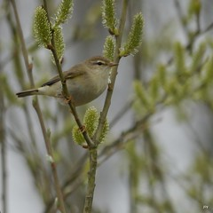 Willow Warbler~Phylloscopus trochilus (jump for joy2010) Tags: uk flowers england nature birds wildlife somerset april swt catkins willowtrees phylloscopustrochilus somersetlevels 2013 somersetwildlifetrust catcottheath willowwarblers