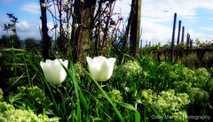 the odd couple (Zandgaby) Tags: blue sky white flower green nature grass spring couple different tulips odd vinyard