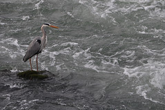 Le hron de Noisy. (Marie-Laure Even) Tags: heron dam hron marne noisylegrand barraque