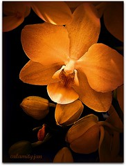 a warm thank you to my friends............ (calamityjan2008) Tags: friends orchid flower contrast warm lilght onblack flowerart warmtones platinumheartaward simplysuperb artisticflower artisticorchid