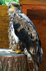 Bald eagle (sansa55) Tags: wild bird nature animal closeup fauna america freedom eagle symbol outdoor background wildlife wing beak bald feather free american raptor perch endangered wilderness creature majestic ornithology isolated vertebrate predatory haliaeetus leucocephalus