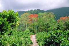 Costa-Rica plantation de caf / Costa Rica coffee plantation (pontfire) Tags: voyage road trip travel flowers plants costa plant flower tree nature coffee caf fleur fleurs montagne plante river de landscape amrica costarica tour natural traverse rica rivire plantation paysage cascade arbre moutain touring locomotion excursion plantes centroamrica amrique peregrinations ujarras centraleamerica tapantnationalpark pontfire