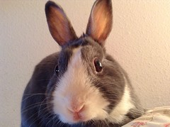 (pjna3) Tags: rabbit bunny dutch dwarf lola queen netherland uploaded:by=flickrmobile flickriosapp:filter=nofilter