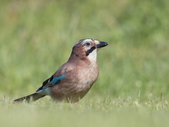 jay (The-Hawk) Tags: bird nikon jay low level d800